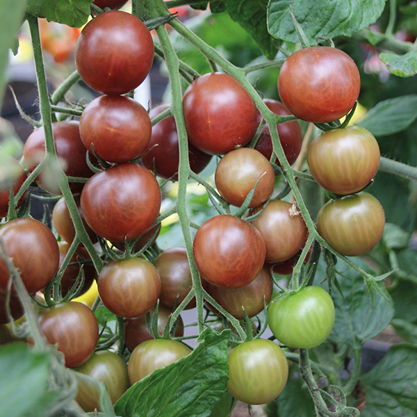 Image result for chocolate cherry tomato